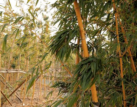 Golden Bamboo (Phyllostachys vivax McClure cv. Aureocaulis), Chenshan Botanical Garden in Shanghai