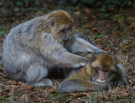Japanese monkey giving back massage